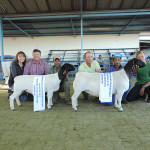 Dorperland Regional Championship Upington 2015 Reserve Champion Dorper Ewe